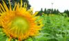 庄内緑地で咲いているヒマワリ5種