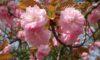 サトザクラが咲いています
