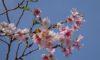 十月桜が咲いています