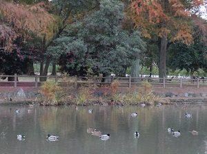 ガマ池のカモ