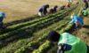 ナノハナ畑の除草を行いました
