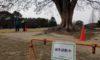 芝生広場の大ケヤキの樹木診断を行いました