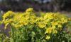 明日から「春の華まつり~ナノハナ・サクラ~」が始まります