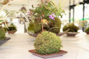 斑入り植物と苔玉展②