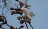 サクラが一輪咲きました