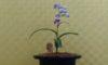「ウチョウランと夏の小型蘭と山野草展」が始まりました