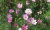 コスモスがきれいに咲いています