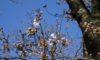 庄内緑地のサクラが咲き始めました&明日から「ナノハナ・サクラまつり」