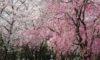 庄内緑地の桜が満開です