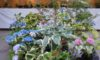 今日から「斑入り植物と苔玉展」開催