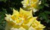 庄内緑地のバラが咲き始めました