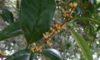 キンモクセイが咲き始めました