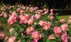 今日の庄内緑地はバラとコスモスが見頃です