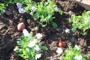1129園芸福祉花壇⑧